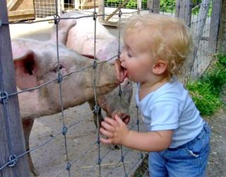 Child-licking-pig