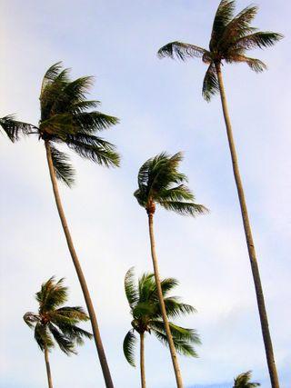 Bintan palm